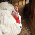 Domestic turkeys two male beltsville small in the barn this is a rare threatened breed Royalty Free Stock Photo