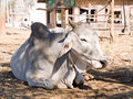 Domestic zebu Stock Image