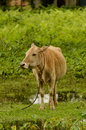 cattle grazing in  opengrass  field Royalty Free Stock Photo