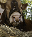 Domesticated cow with nose ring Royalty Free Stock Photo