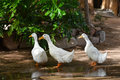 Domesticated ducks Royalty Free Stock Photo