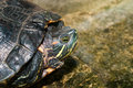 Domesticated Red Eared Slider Peaks Out from his Shell Royalty Free Stock Photo