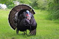 Domesticated turkey genus meleagris staying on grass Stock Photo