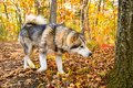 A domesticated Wolf walks through the forest, beautiful beast runs in nature.