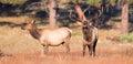 Dominant bull elk Royalty Free Stock Photo