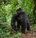 Dominant male mountain gorilla in rainforest. Uganda. Bwindi Impenetrable Forest National Park. Royalty Free Stock Photo