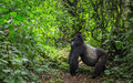 Dominant Male Mountain Gorilla...