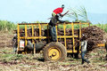 Dominicans farmers dominican are working in asugarcane field in dominican republic Stock Photos
