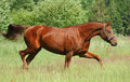 Don red sorrel mare Royalty Free Stock Photography