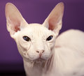 Don Sphinx cat closeup portrait Royalty Free Stock Photo