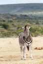 Don t stare at me burchell s zebra is a southern subspecies of the plains it is named after the british explorer and Royalty Free Stock Images