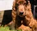 Don`t Tread on Me Purebred Irish Setter Dog Canine Pet