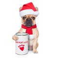Donation dog french bulldog with a can collecting money for charity as a winter edition isolated on white background Royalty Free Stock Images