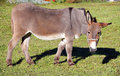 Donkey 1 Royalty Free Stock Photo