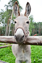 Donkey behind a fence Royalty Free Stock Photo
