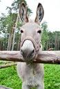 Donkey behind a fence Royalty Free Stock Photo