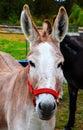 Donkey with bridle Stock Photos