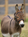 Donkey in bridle a head shot of a standard a Stock Image