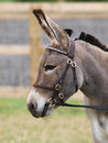Donkey in bridle a head shot of a standard a Stock Photography