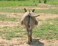 Donkey Butt Strait On Royalty Free Stock Photo