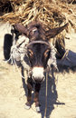 Donkey carrying supplies Royalty Free Stock Images