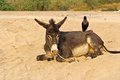 Donkey and crow lies on a sandy way Royalty Free Stock Photo