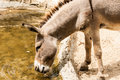 Donkey eat water Stock Image