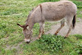 Donkey Eating Grass Royalty Free Stock Photo