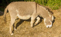 Donkey Eating Hay Royalty Free Stock Photo