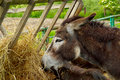 The donkey eats dried hay Stock Photos