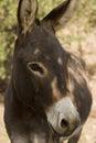 Donkey - Equus Africanus Asinus Royalty Free Stock Photo