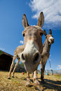 Donkey face Royalty Free Stock Image