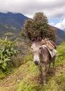 Donkey farm animal portrait of a ecuador mountains south america Stock Photography