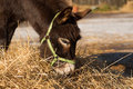 The donkey on farmstead eats a grass Stock Photo