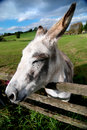 Donkey at a fence Royalty Free Stock Photo