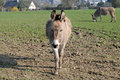 Donkey in the fields france Royalty Free Stock Photography