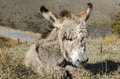 Donkey foal with ruffled fur in autumn Royalty Free Stock Image
