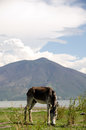 Donkey grazing lakeside in mexico with mountain in background Stock Image