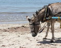 Donkey In Harness On The Beach