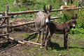 Donkey husbandry Stock Photos