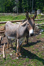 Donkey husbandry Royalty Free Stock Photos