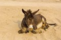 Donkey lies on a sandy way Stock Images