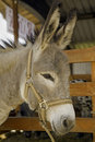 Donkey at livestock exhibition Stock Photography