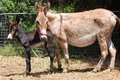 Donkey mare with foal on farm a cute one day old new born standing next to its mother a outdoors Royalty Free Stock Photography