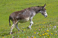 Donkey on a meadow Royalty Free Stock Image