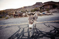 Donkey in the mojave desert california usa Royalty Free Stock Images