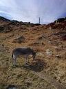 Donkey on the mont blanc a graze grass mountain Stock Photos