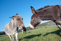 Donkey and mule communication between Royalty Free Stock Photo