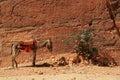 Donkey in Petra Royalty Free Stock Photo