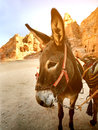 Donkey in Petra Royalty Free Stock Photo